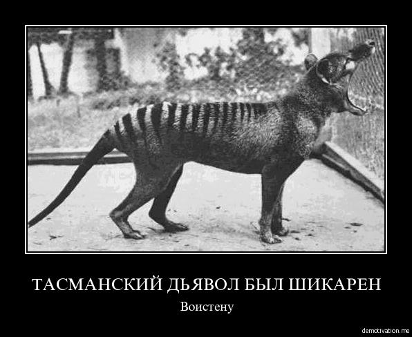 фото сумчатого волка