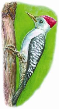 большая райская птица оперение