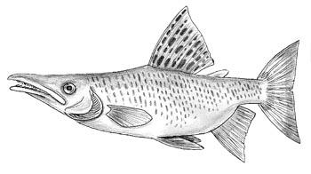 Австралийский лжехариус thymallesox salmoides