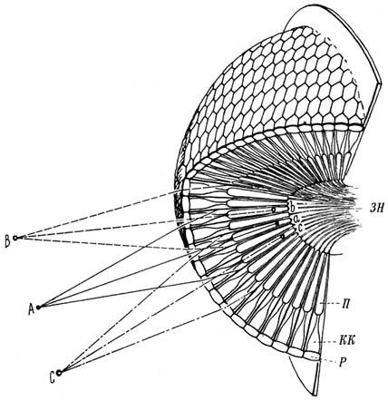 Глаз пчелы (схема).