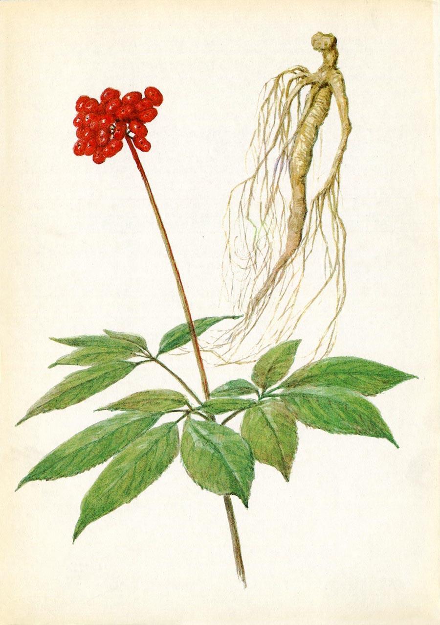 цветок женьшень