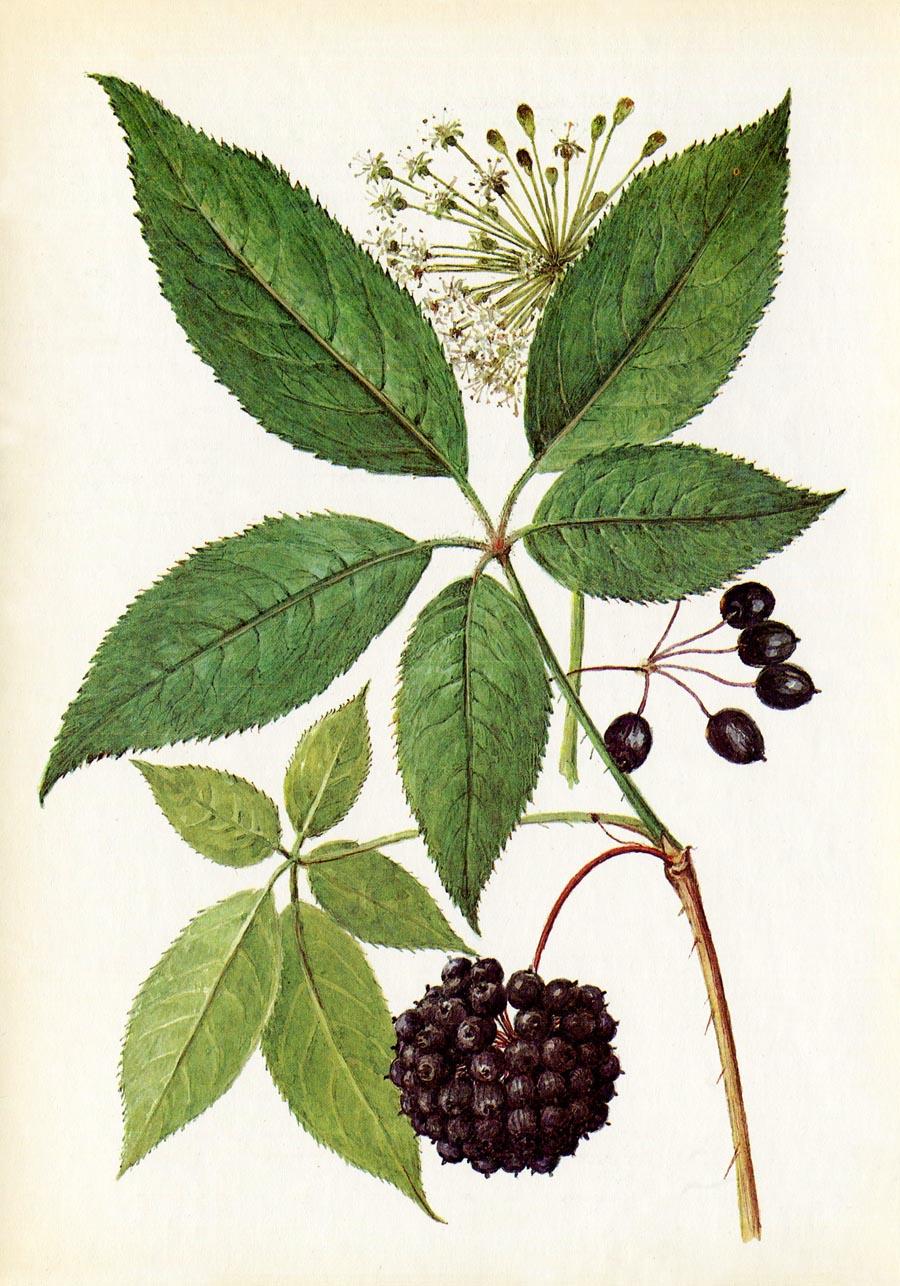Цветы элеутерококка