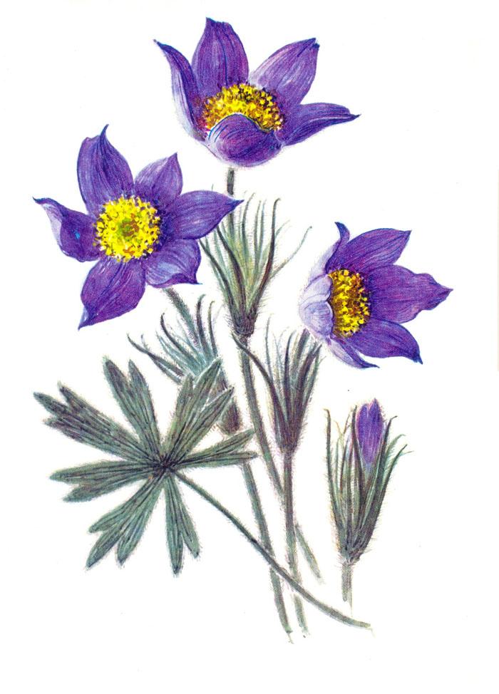 Первоцветы  первые весенние цветы