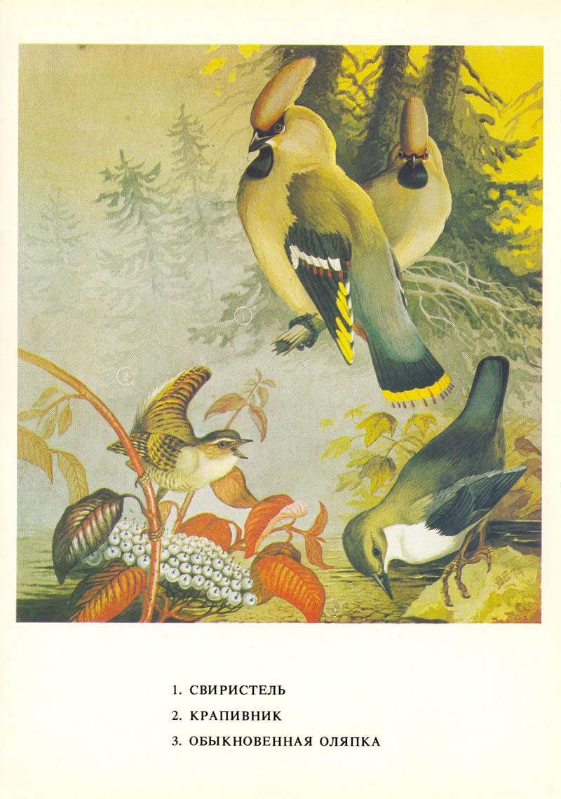 Зимующая птица сибири картинки